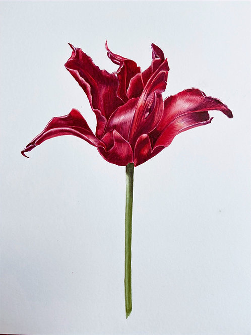 Red Tulip by Lesley Hall