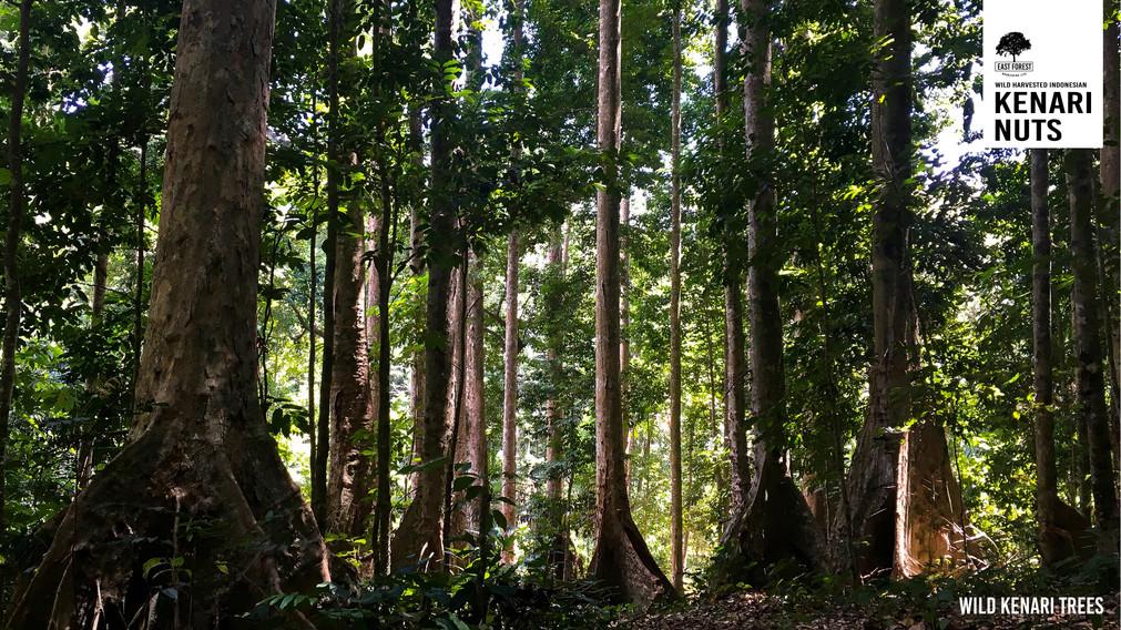 00 Batavia - Wild Kenari Trees 2.jpg