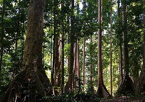 kenari tree.jpg