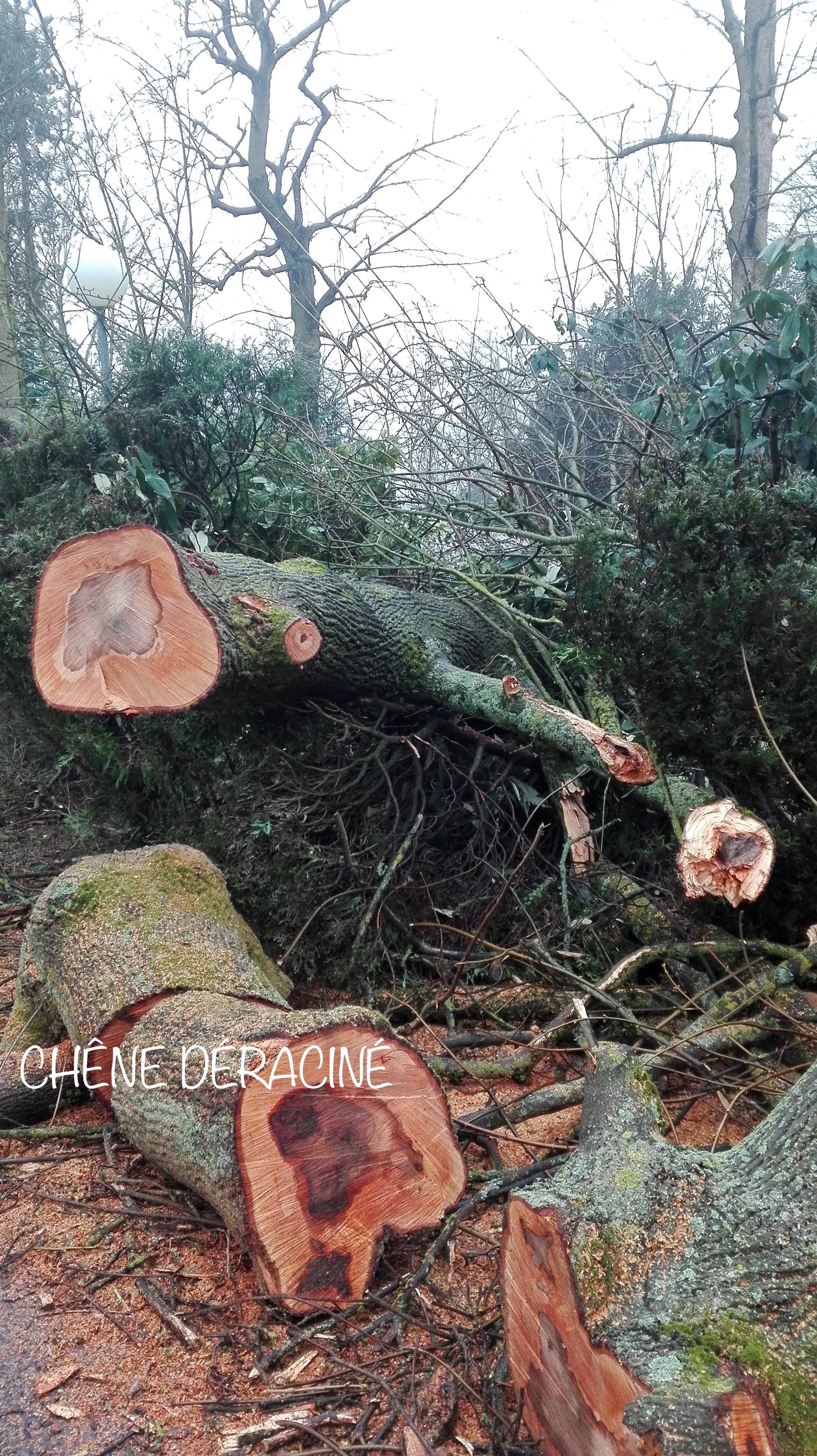 Chêne déraçiné