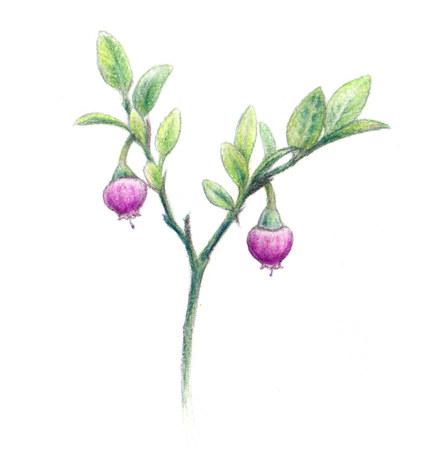flowering blueberry