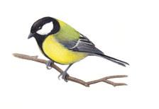 yellow tit