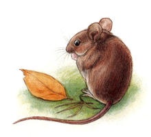 Yellow-necked Mouse