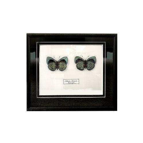Framed Butterfly Couplet