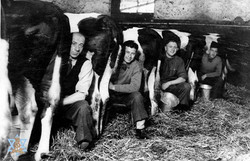 חולבים פרות