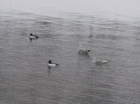Самцы гоголей и серебристые чайки