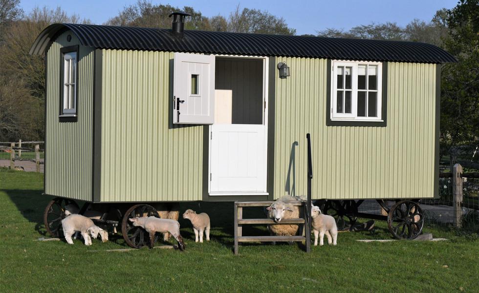 Shepherds Hut sheep visitors