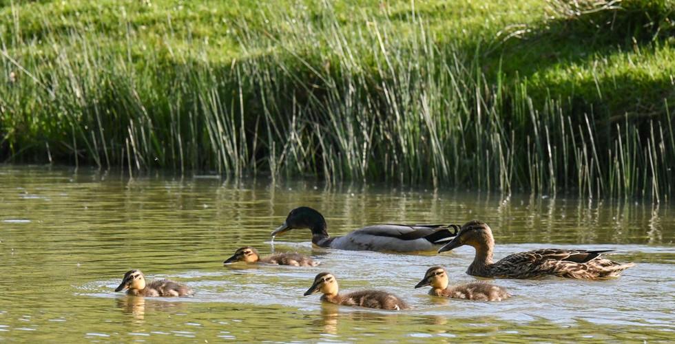 Tenterden Trout Waters Summer Ducklings