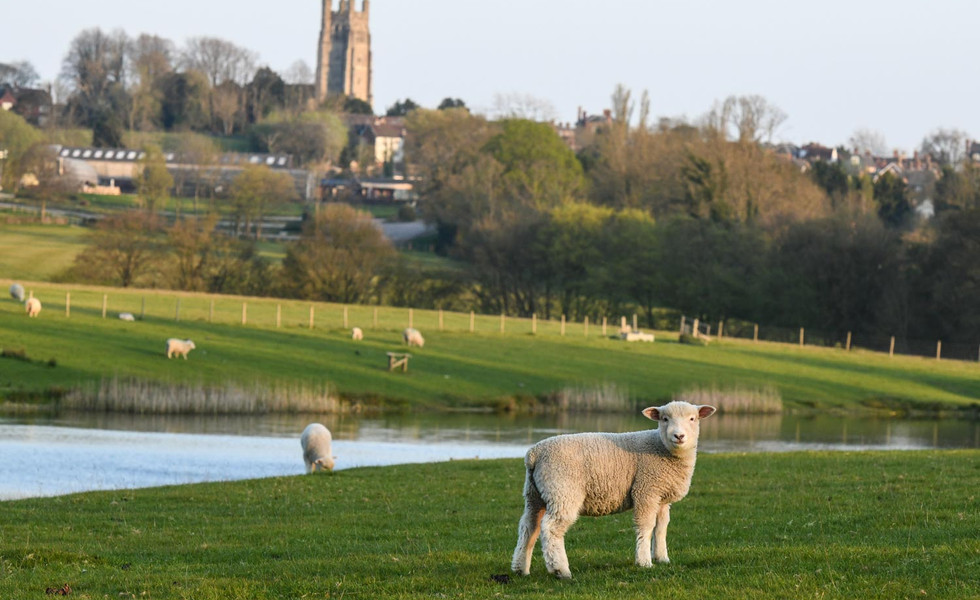 Lambs at Tenterden Trout Waters
