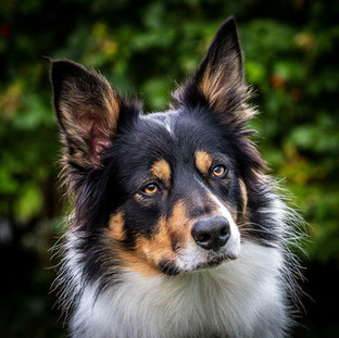 Scout Mountain Rescue Collie