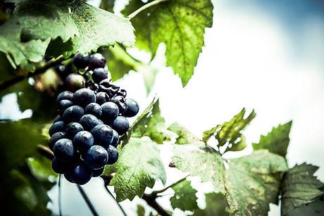 grapes-vineyard-fruit-berry-94442.jpg