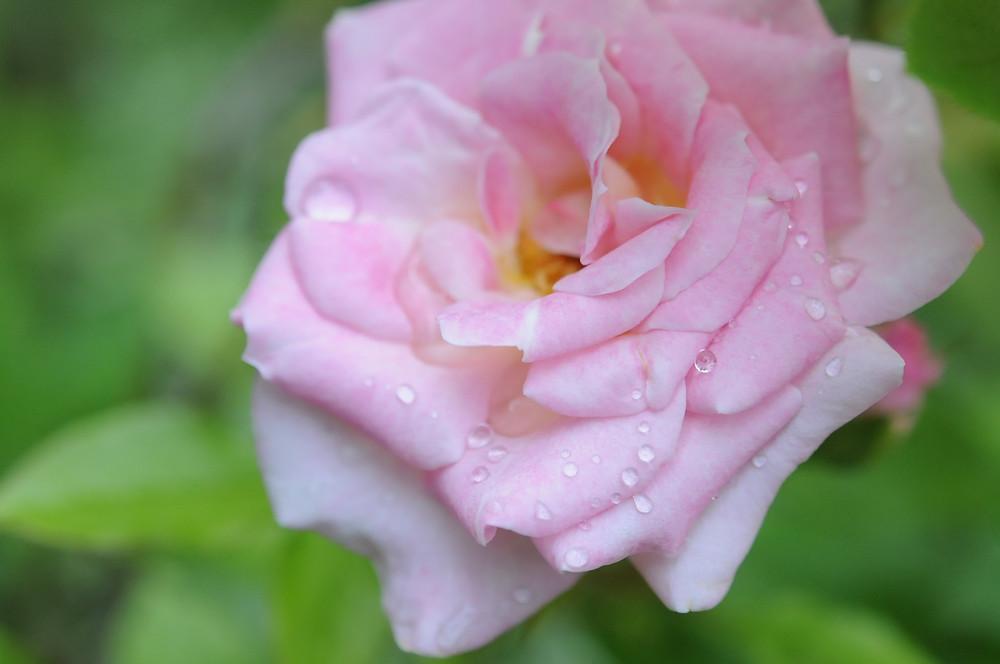 La même rose de mon jardin, sous un angle différent