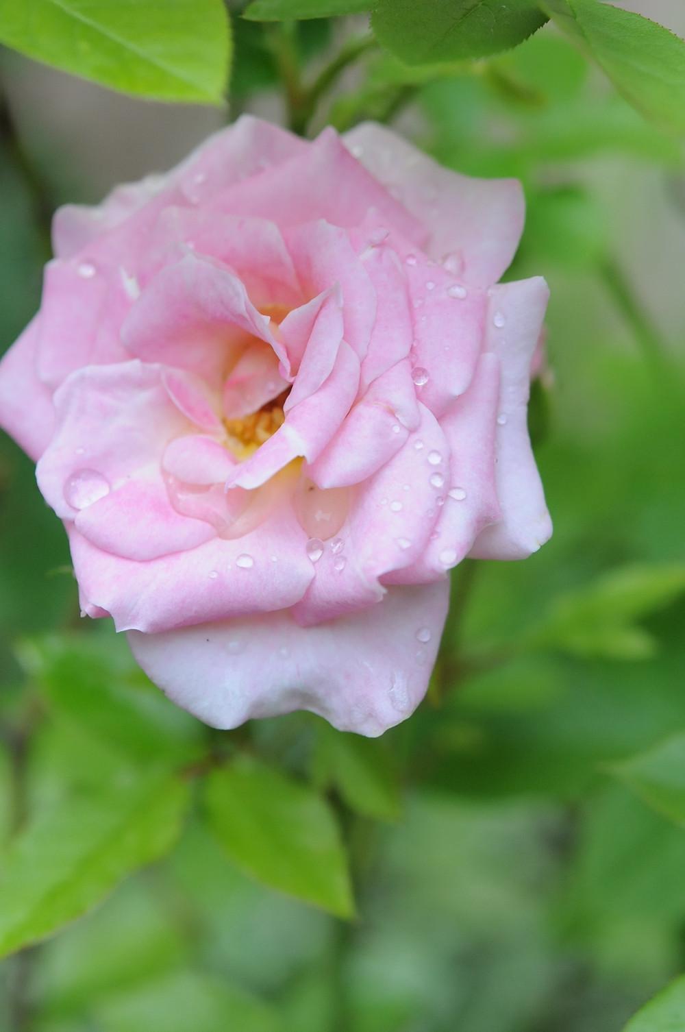 Rose de mon jardin - Eté 2019