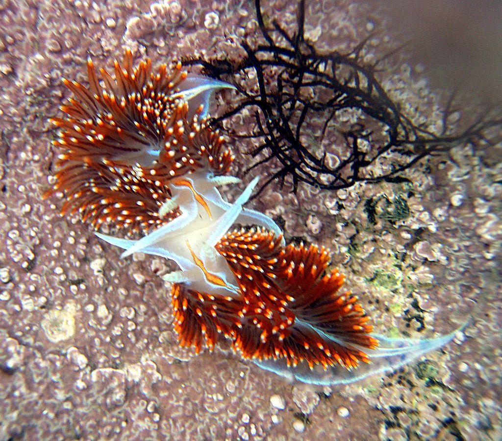 Nudibranch in tidepool