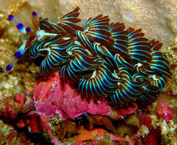 Blue Dragon Pteraeolidia ianthina