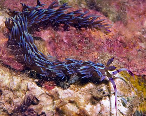 Glaucidae - Blue Dragon Nudibranch