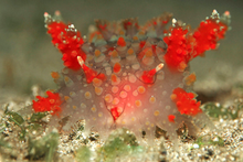 Kalinga ornata Nudibranch