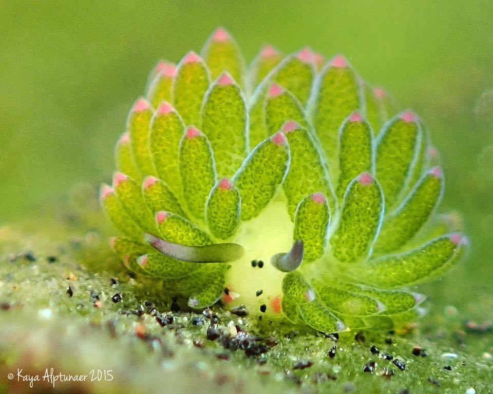Nudibranch by Kaya-Alptunaer