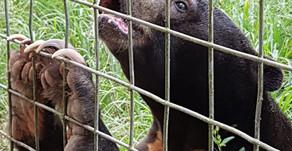 7 Malaienbären von Nyaru Menteng nach Samboja Lestari