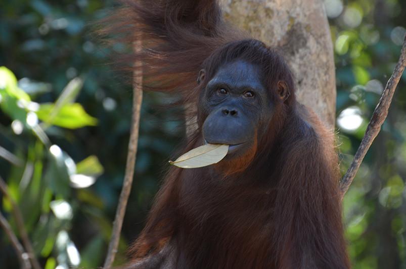 @BOS Schweiz |Rehabilitierter Orang-Utan auf der Vor-Auswilderungsinsel