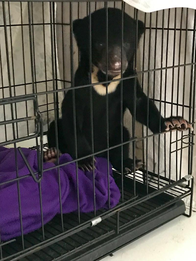 Malaienbär-Baby wartet auf Umzug ins neue Gehege in Samboja Lestari  |BOS Schweiz