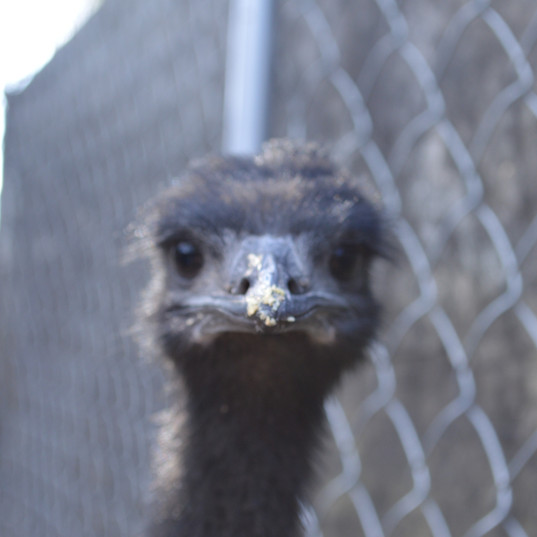 Kevin the emu