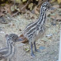 Baby Emu