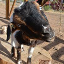 Porter the goat