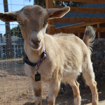 Stella the goat