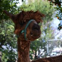 Cletus the alpaca