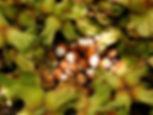 organik artvin fındık