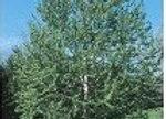 Cottonwood, Souixland (Populus deltoids 'Siouxland')