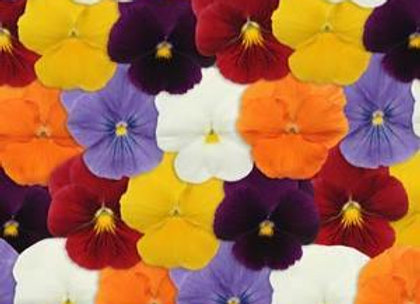 Pansy, Panola Clear