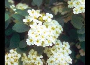 Spirea, Vanhoutte (Bridal Wreath)