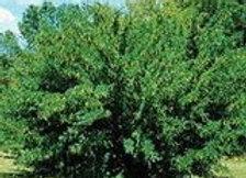 Caragana (Siberian Pea Shrub) Caragana aborescens