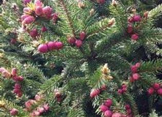Spruce, Norway Calvary (Picea abies 'Calvary'