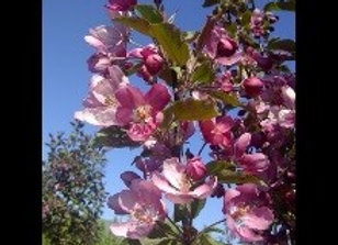 Crabapple, Thunderchild (Malus x 'Thunderchild')