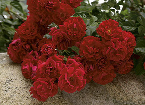 Rose, Red Ribbons (Ground Cover)