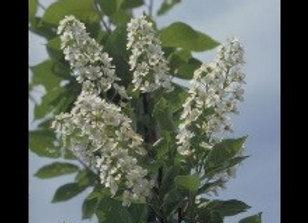 Cherry, Canada Red  (Puruns virginiana)