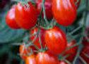 Tomato, Red Grape