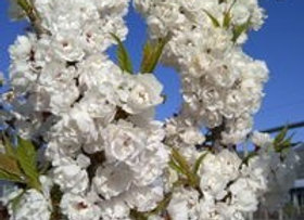 "Plum, Princess Kay, (Prunus nigra ""Princess Kay')"