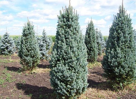 Spruce, Blue Totem (Picea pungens 'Blue Totem')