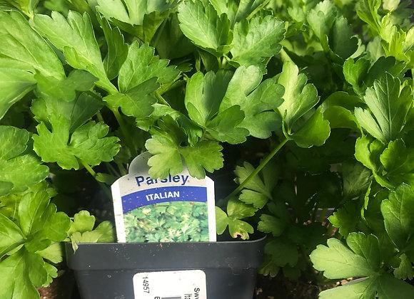 Parsley, Italian Large Leaf