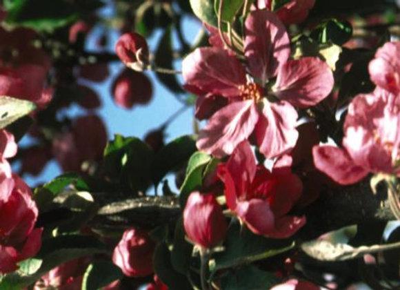 Crabapple, Red Barron (Malus x 'Red Barron'