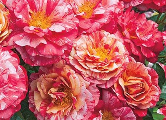 Rose, Frida Kahol (floribunda)