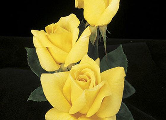 Rose Oregold (Hybrid Tea)