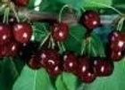 Cherry, Carmine Jewl