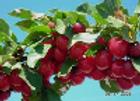 Cherry, Evans Bali