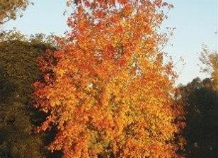 Maple, Sensation Box Elder (Acer negundo 'Sensation')