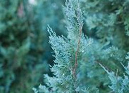 Juniper, Wichita Blue (Juniperus Scopulorum 'Wichita Blue')